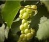 未受火灾影响 纳帕谷2018年葡萄采收季正式开始