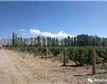 陆江:有鸟窝的葡萄园,新疆和硕产区