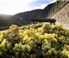 德国收获近20年来酿酒葡萄最大收成