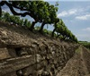 托斯卡纳将拥有欧洲首个有机葡萄酒保证法定产区