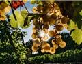 德国葡萄园遭小偷开收割机洗劫