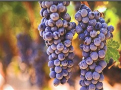 李奶奶为啥第一个在巴州做葡萄酒?