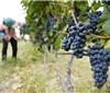 发展葡萄酒行业 如何种好葡萄才是关键