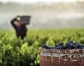 2018年西班牙里奥哈产区葡萄大丰收
