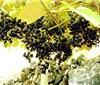 Vitis quinquangularis Rehd 毛葡萄
