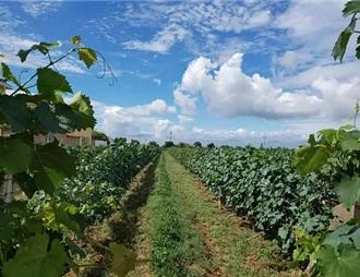 沙城葡萄酒产区:优势与忧患并存