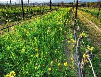 意大利有机葡萄酒增长迅速
