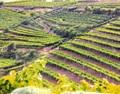 意大利索阿维Soave产区正式启用单一园体系