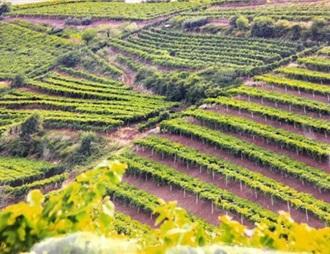 意大利索阿維Soave產區正式啟用單一園體系