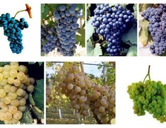 波爾多葡萄酒新增七個允許使用的葡萄品種