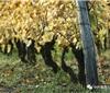 葡萄苗木进口与申请流程
