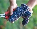 意大利有望蝉联葡萄酒产量第一大国