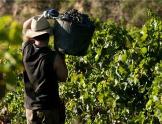 """法國正式允許開展""""觀光采摘""""葡萄業務"""