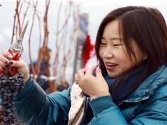 吉林采摘品鉴冰葡萄酒节