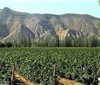 国内葡萄酒产区系列之新疆:建设薄弱 特色匮乏