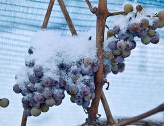 溫暖的冬天破壞了德國冰酒的收成