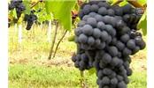 游历德国葡萄酒之路,遇见葡萄酒公主