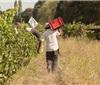 采收进度75% 2020智利葡萄酒行业积极前行