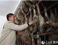 贵州:乌蒙大山试产西班牙风味火腿