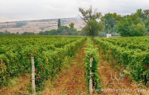 Vineyards_in_pomorie_region.jpg
