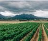 南非葡萄酒行业陷入困境,每周损失4亿兰特