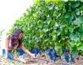 嘉地酒园丁健:昔日荒草遍戈壁,如今葡萄绕酒庄!