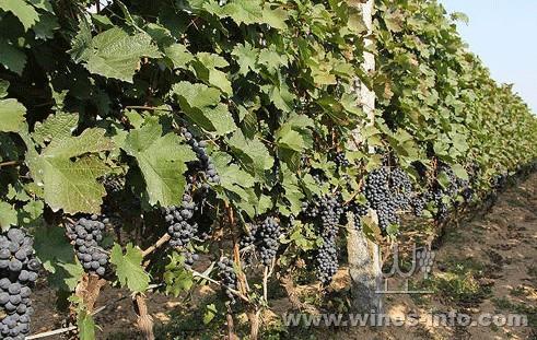 烟台莱山区院格庄葡萄喜获丰收