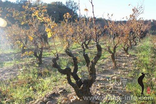royat方式修剪的葡萄树一边只留一个芽