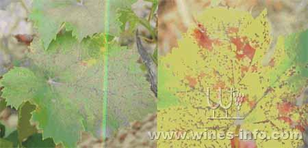 葡萄小褐斑病为害叶片情况
