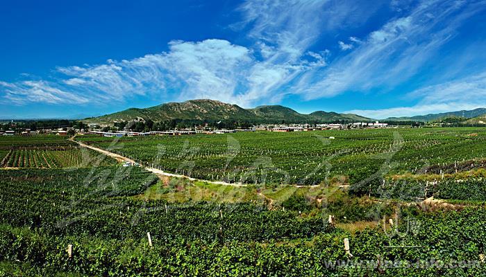 秦皇岛昌黎产区葡萄酒文化季昨日盛大启帷