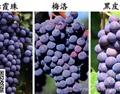 赤霞珠、梅洛与黑皮诺红葡萄酒的区别在哪?
