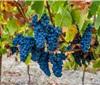 葡萄品种与葡萄酒