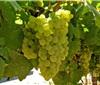 霞多丽是一个不寻常的葡萄品种