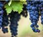 奔富红酒407,128,389,707常见红葡萄品种介绍