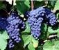 葡萄酒七分靠原料,三分靠工藝
