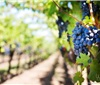 宁夏贺兰山东麓丨有机葡萄产地,有机葡萄的生长天堂
