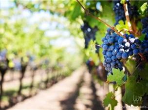 寧夏賀蘭山東麓丨有機葡萄產地,有機葡萄的生長天堂