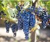 宁夏贺兰山东麓葡萄酒,移民在酒香中脱贫致富